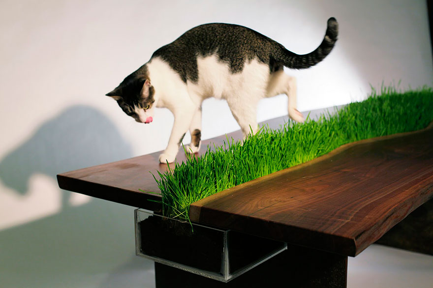 table herbe chat
